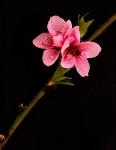 54 Cherry Blossom