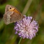 68 Meadow Brown Butterfly