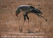 SECRETARY-BIRD-CATCHES-SNAKE-by-Stan-Hill