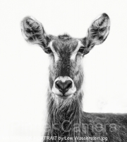 WATERBUCK-PORTRAIT-by-Lew-Wasserstein