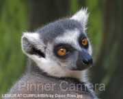 LEMUR-AT-CURRUMBIN-by-David-Ross