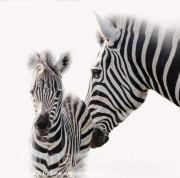 ZEBRA-CARE-by-Lew-Wasserstein