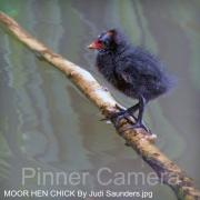 MOOR-HEN-CHICK-By-Judi-Saunders
