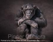 Portrait-of-a-Chimpanzee-by-Lew-Wasserstein