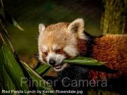 Red-Panda-Lunch-by-Kevan-Rosendale