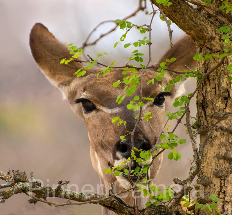 KUDU-FEMALE-BROWSING-by-Les-Spitz