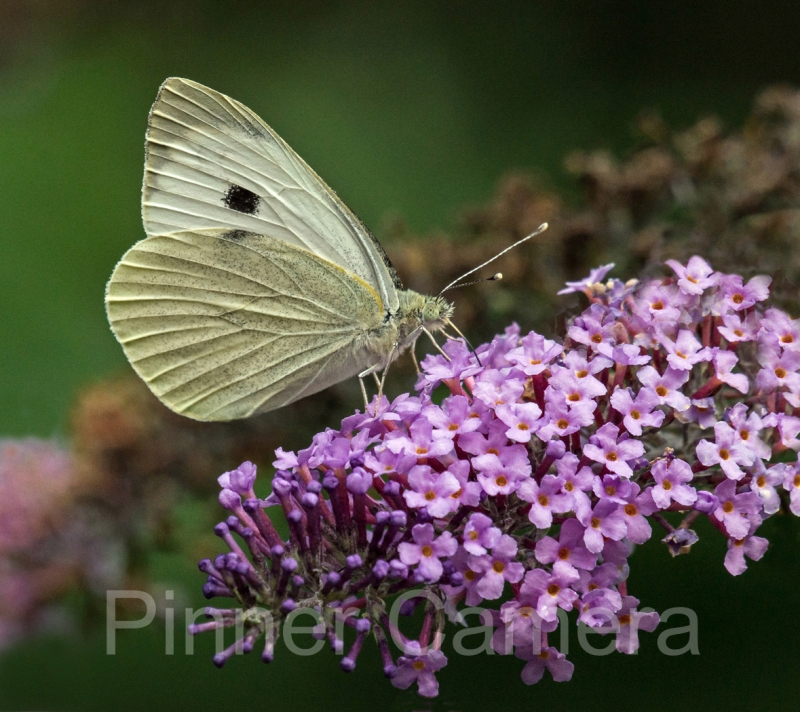 LARGE-WHITE-BUTTERFLY-by-Steve-Cohen