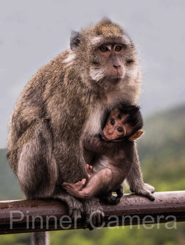 VERONICA-HILL-MACAQUE-MOTHER-AND-BABY-by-Veronica-Hill