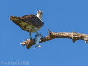 Osprey&Fish Florida