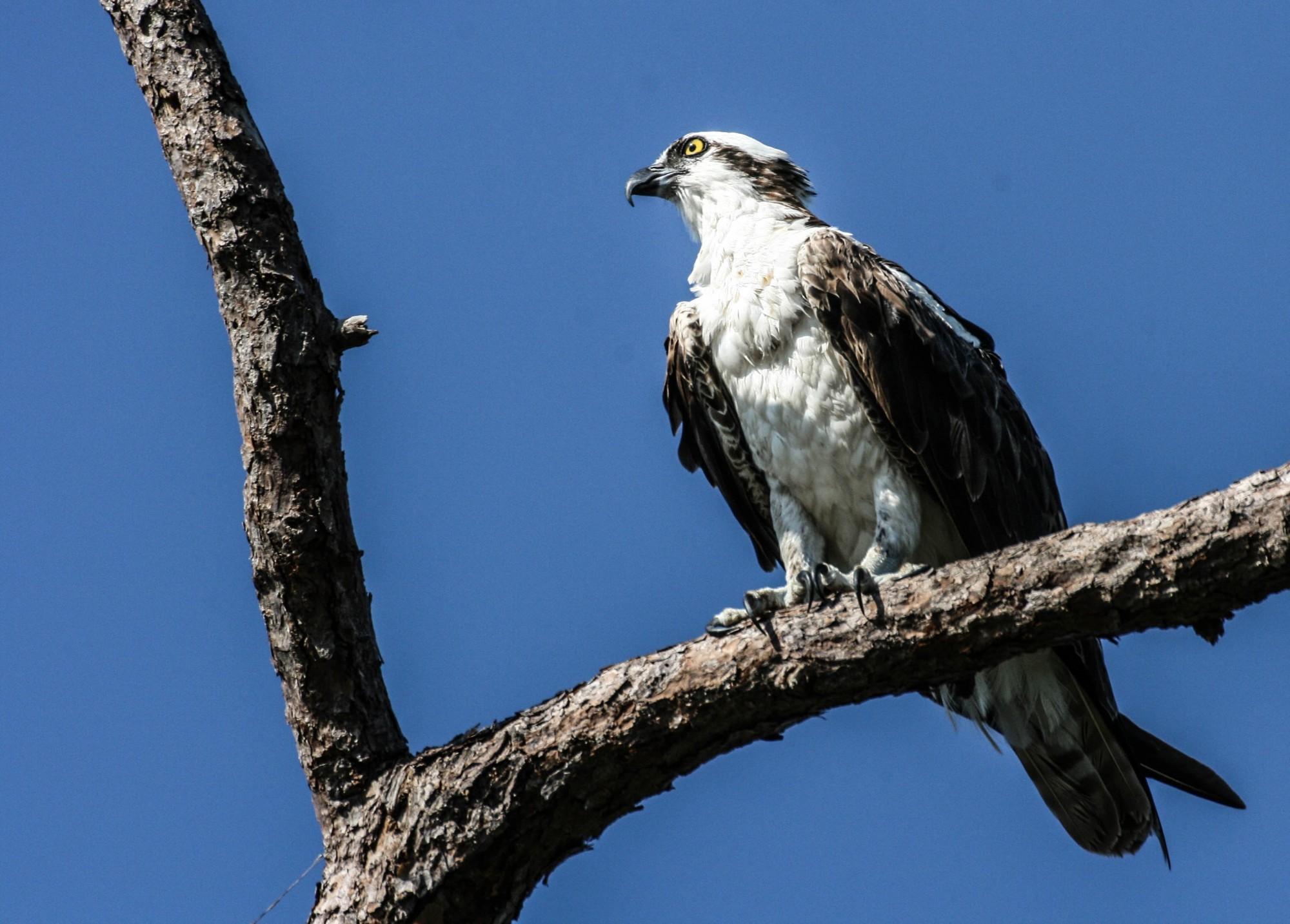 Floridian-Osprey