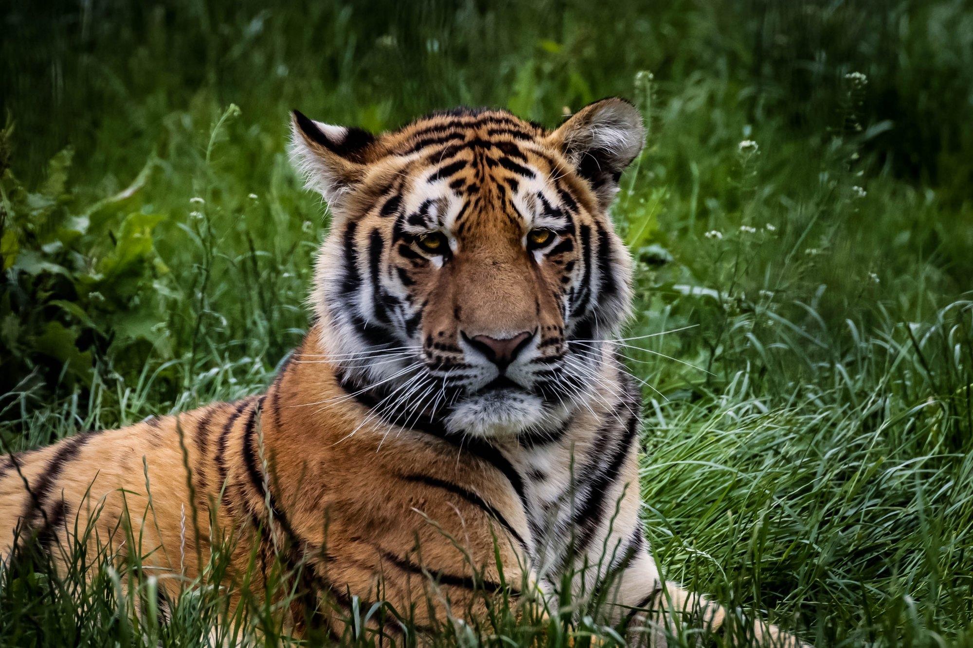 Pensive-Tiger