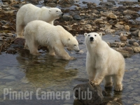 mother-and-cubs-churchill-canada