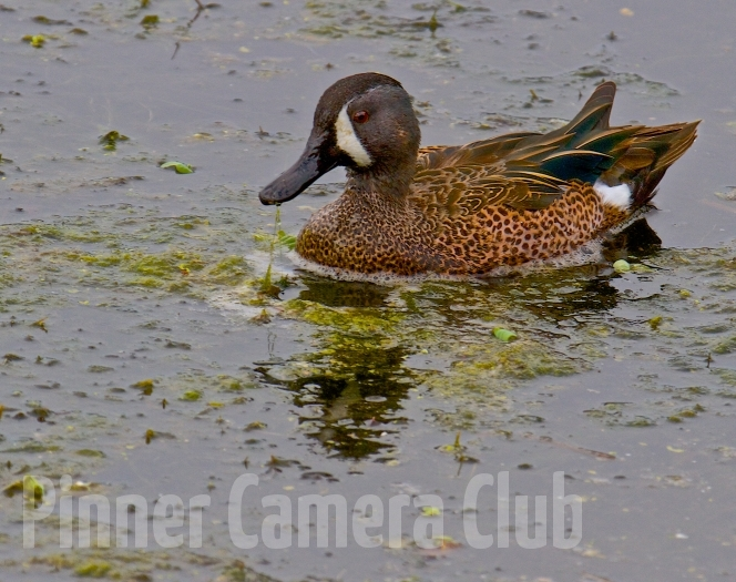 BLUE WINGED TEAL FLORIDA