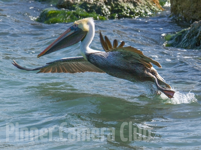 BROWN PELICAN FLORIDA-2