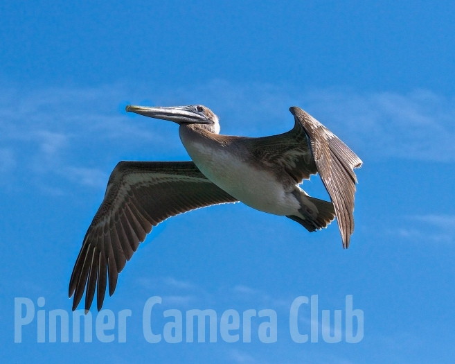 BROWN PELICAN FLORIDA-3