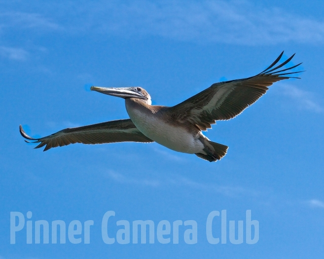 BROWN PELICAN FLORIDA-4