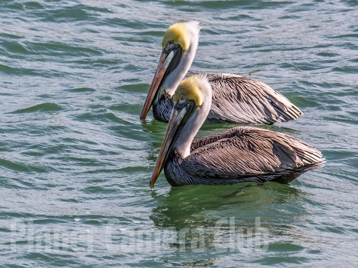 BROWN PELICAN FLORIDA-5