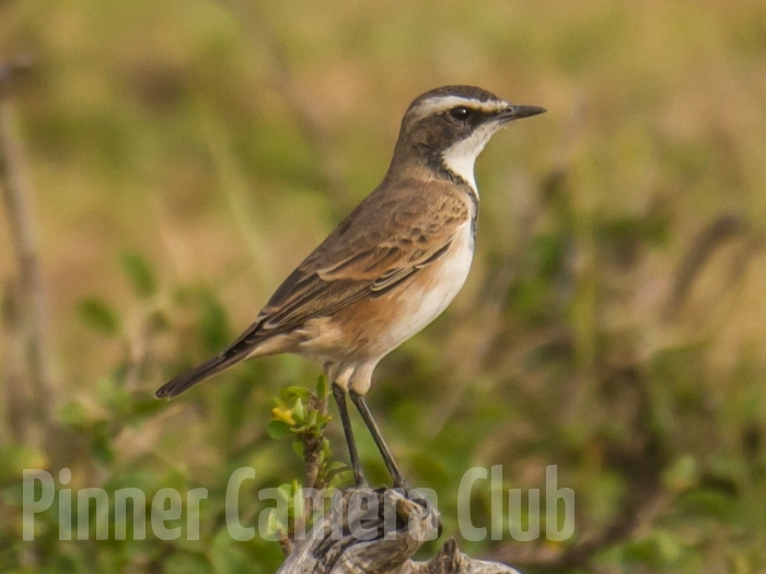 CAPPED WHEATEAR KENYA