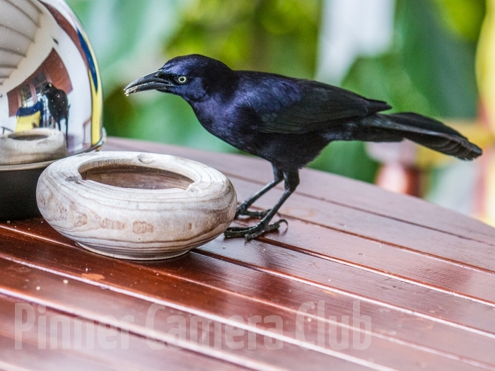 CARIB GRACKLE ST LUCIA