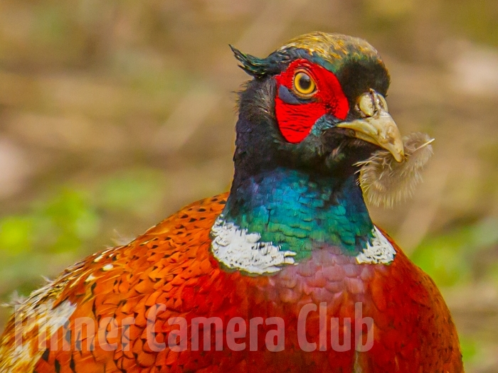 COMMON PHEASANT UK