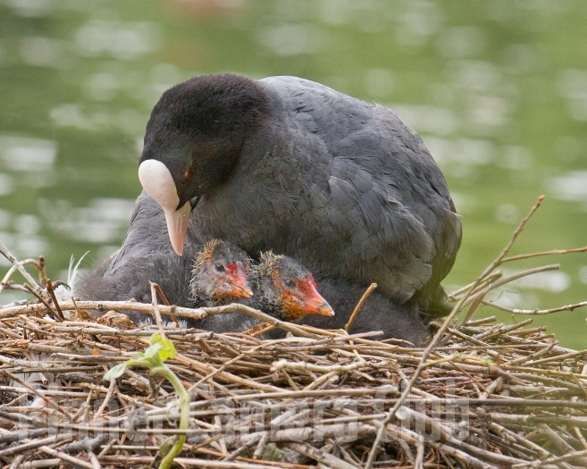 COOT & CHICKS UK