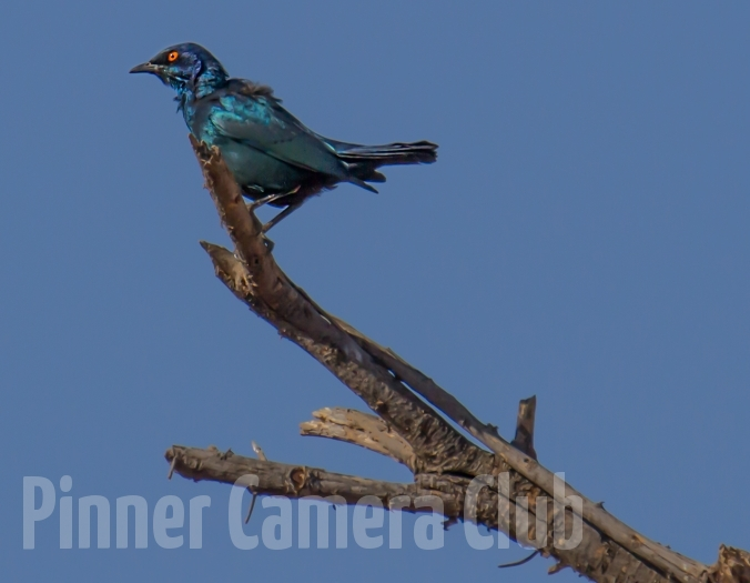 GREATER BLUE EARED STARLING PILANESBERG SA