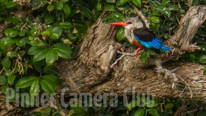 GREY HEADED KINGFISHER KENYA