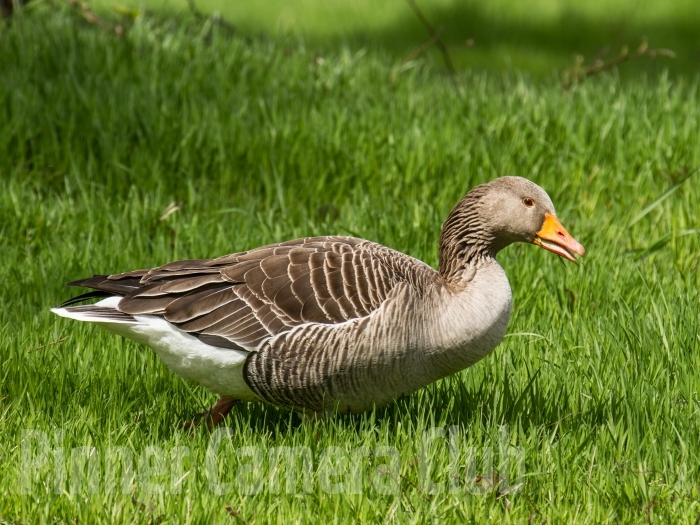 GREYLAG GOOSE UK