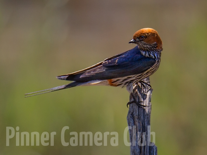 LESSER STRIPED SWALLOW PILANESBERG SA