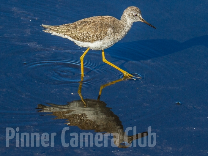 LESSER YELLOWLEGS FLORIDA