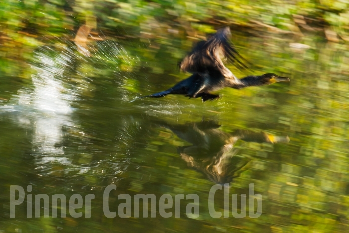 LOCAL CORMORANT LIFT OFF