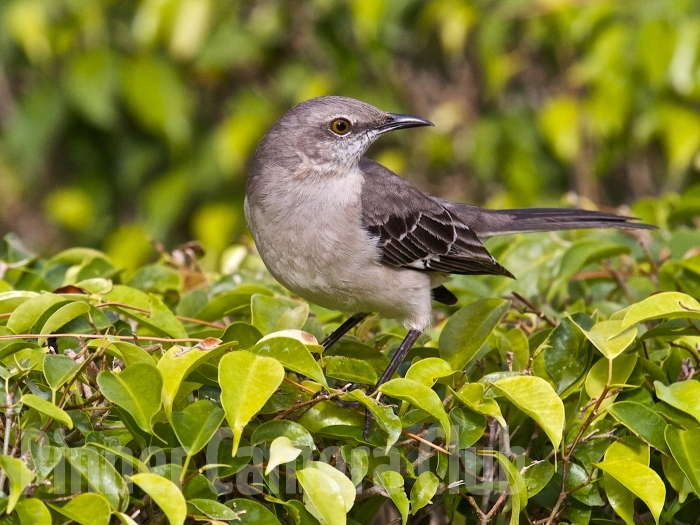 MOCKING BIRD FLORIDA-3