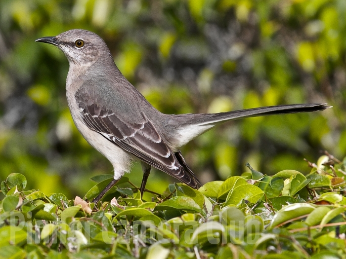 MOCKING BIRD FLORIDA