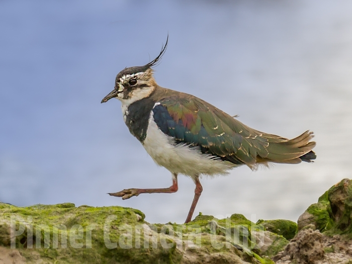 NORTHERN LAPWING UK