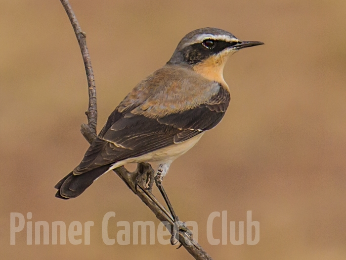 NORTHERN WHEATEAR KENYA2