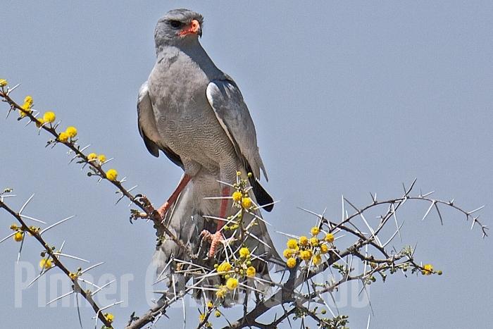 PALE CHANTING GOSHAWK NAMIBIA