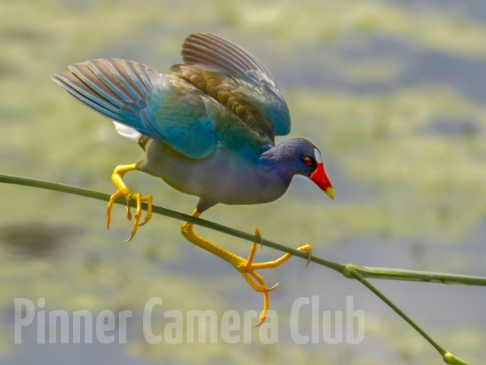 PURPLE GALLINULE FLORIDA-2