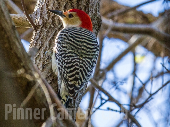 RED BELLIED WOODPECKER FLORIDA