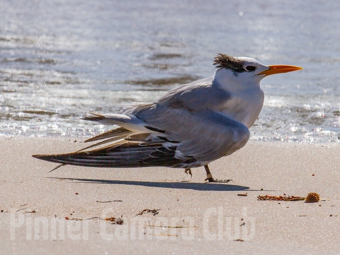 ROYAL TERN FLORIDA
