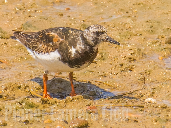 RUDDY TURNSTONE ALGARVE