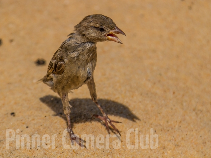 SPARROW CHICK? ALGARVE