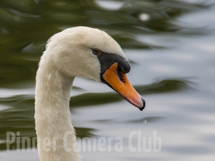 SWAN PORTRAIT UK