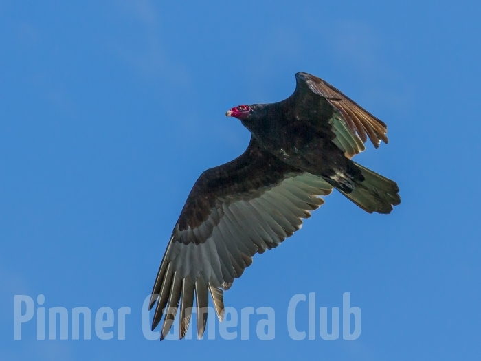 TURKEY VULTURE FLORIDA