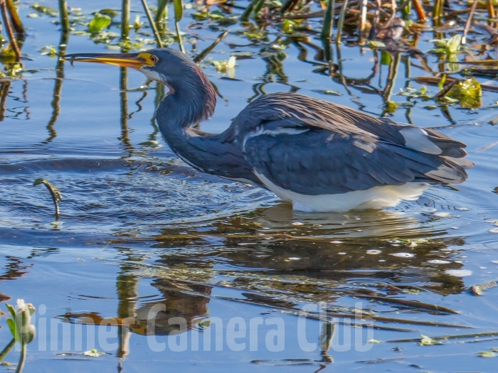 Tricolour Heron with fish FLORIDA