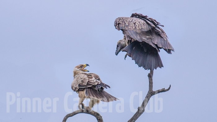 WHITE BACKED VULTURE & TAWNY EAGLE KENYA-2