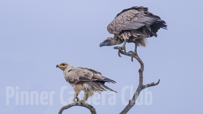 WHITE BACKED VULTURE & TAWNY EAGLE KENYA