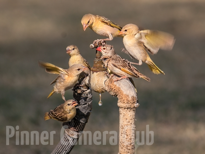 YELLOW CANARIES & WAXBILL NAMIBIA