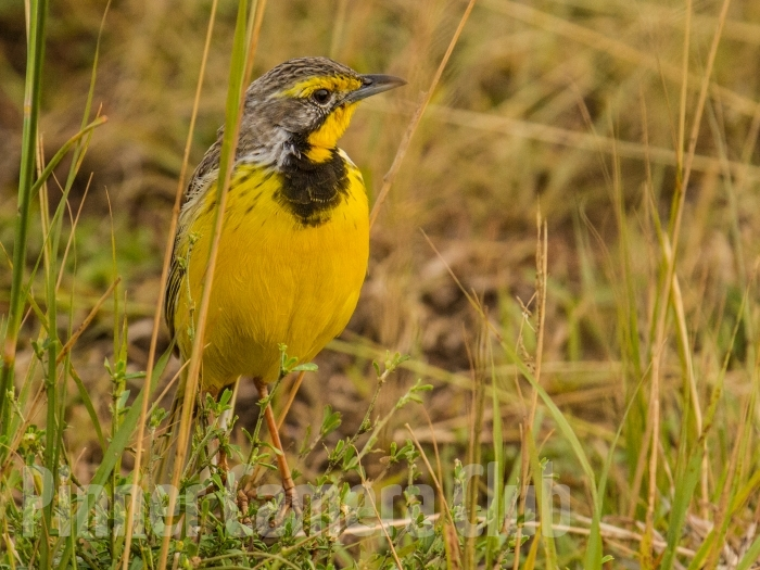 YELLOW THROATED LONGCLAW KENYA