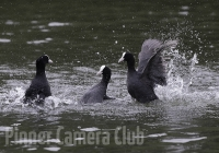 coots-fighting-2-by-martin-roberts