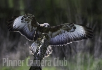 eagle-owl-landing-by-martin-roberts-edit